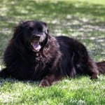 Dog-Laying-Down-Grass-Basic-Commands