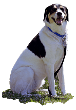 Dog-Sitting-Basic-Commands-Trained