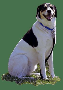 Dog-Sitting-Basic-Commands-Trained