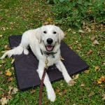 Dog-Laying-Down-Basic-Commands