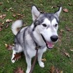 Husky-Sitting-Basic-Commands