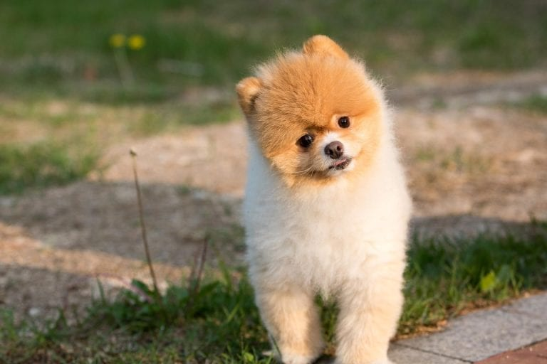 Pomeranian-Head-Tilt-Dog-Training