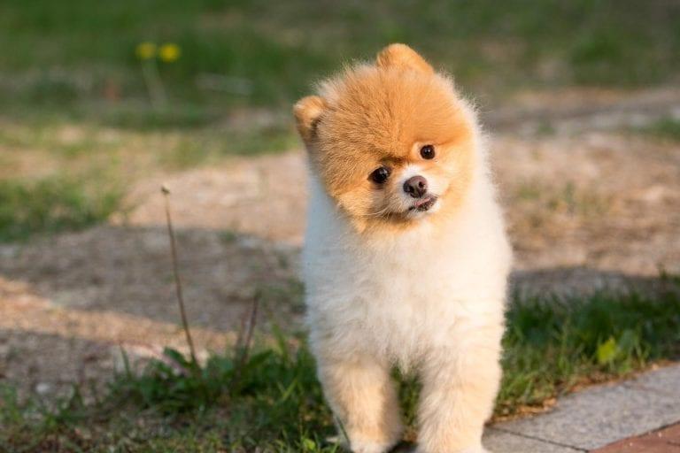 Pomeranian-Head-Tilt-Dog-Training
