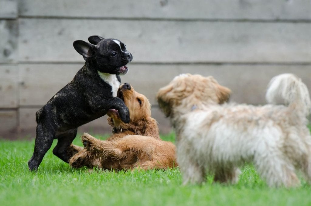 Dogs-Playing-Together