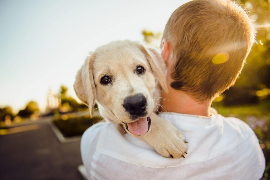 Golden-Retriever-Dog-Training-Carried-Away