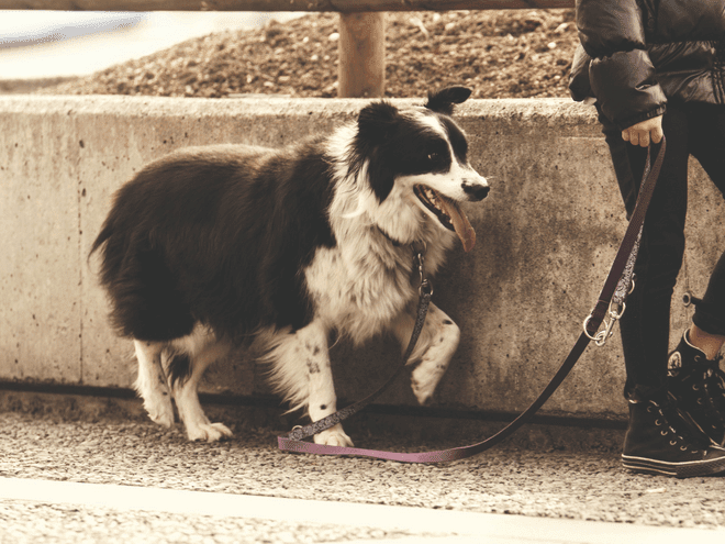 Dog-Training-Walking-Border-Collie