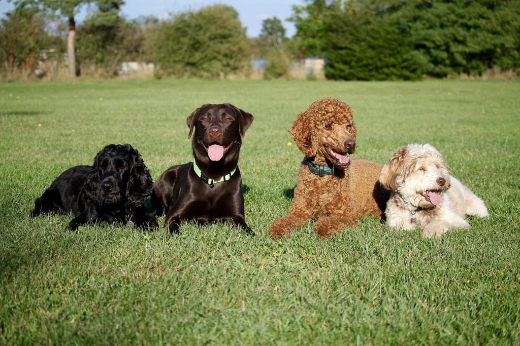 Four-Dogs-Laying-Down-Obedience-Training